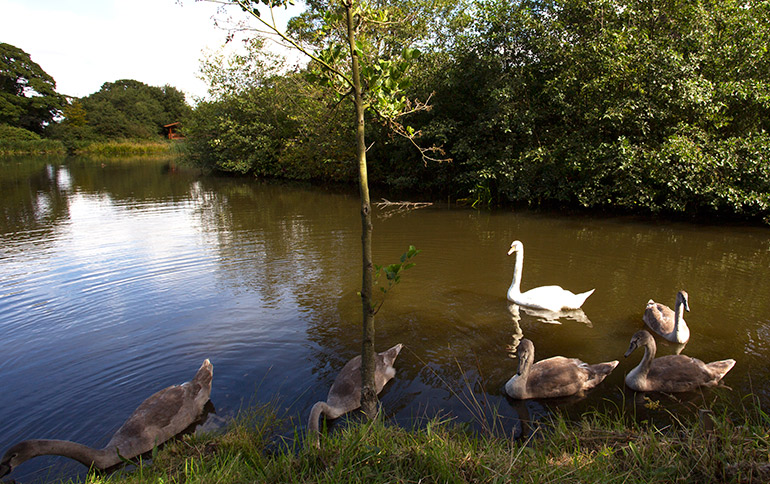 swans at kates cabin in felmoor park luxury log cabins
